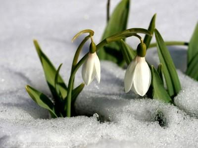 snow-drops