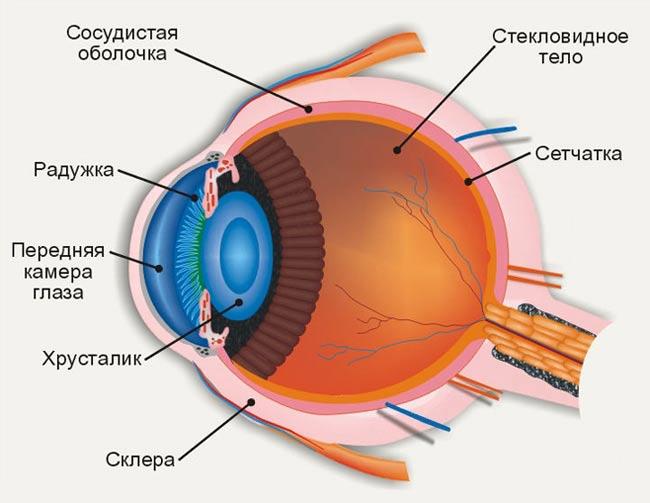 зрительного анализатора