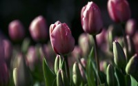 Nature_Flowers_Field_of_tulips_023778_29