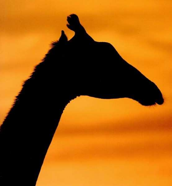 силуэт_жирафа