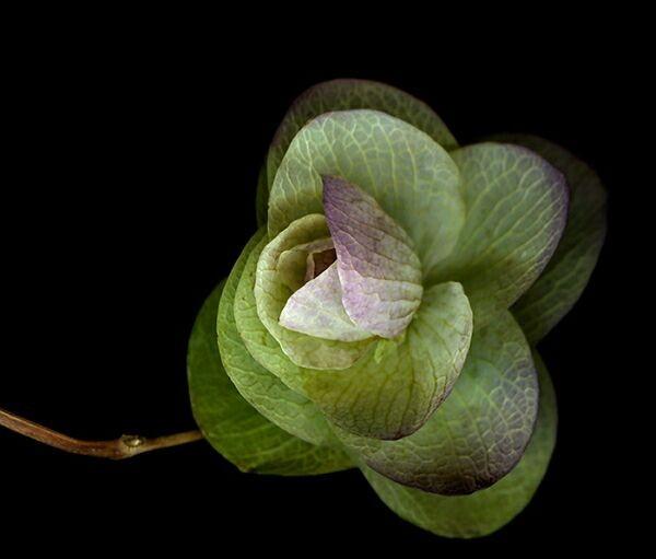 Сканография растений