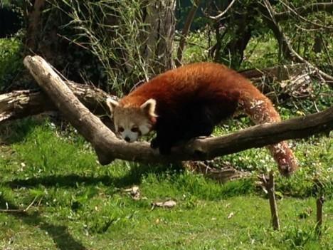 красная-панда