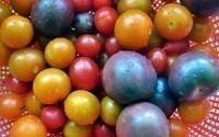 Фиолетовые помидоры скоро заменят обычные