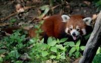 В столице США несколько часов проводились поиски убежавшей красной панды