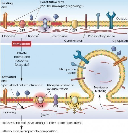 the_plasma_membrane_response_to_cell_stimulation_608