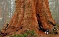 Самое большое дерево планеты