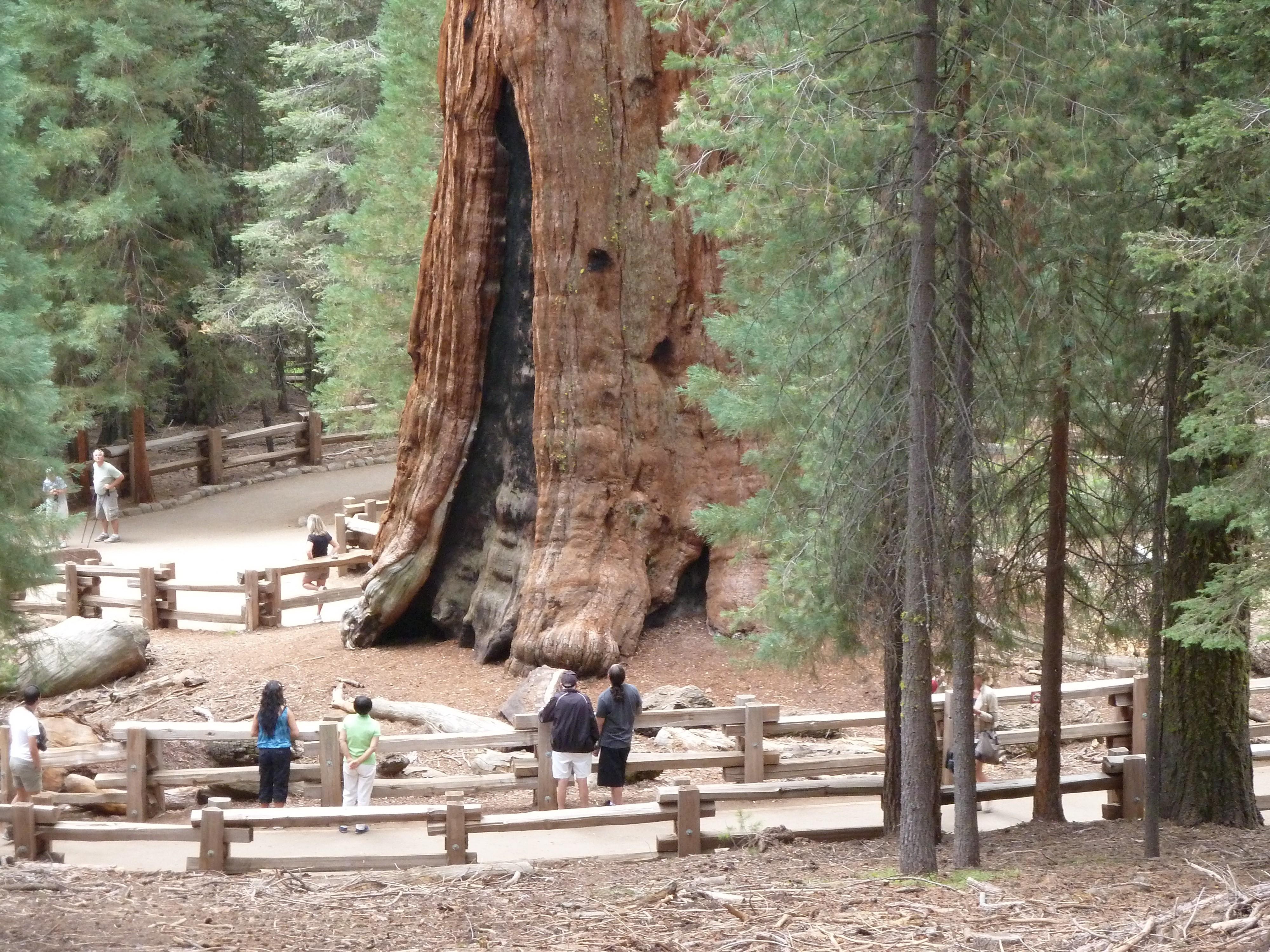 большие деревья фотографии они