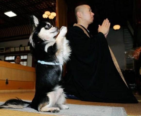 япония-собака