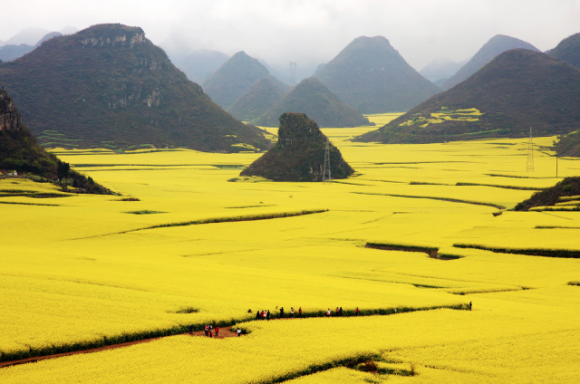 Flower Fields, Canola , China