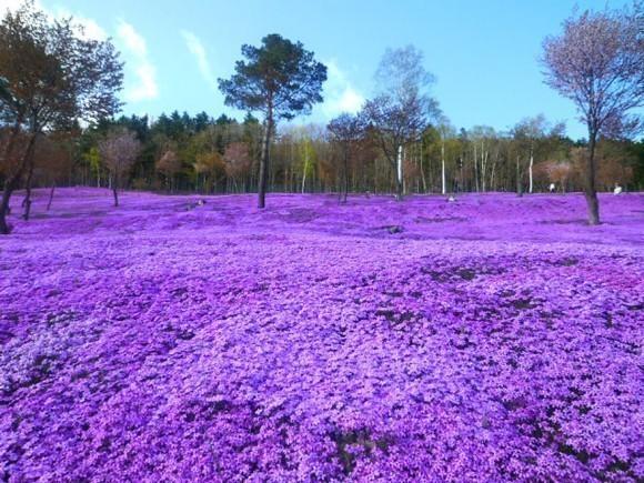 Shibazakura-Flowers