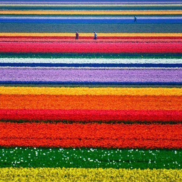 fields-with-tulips