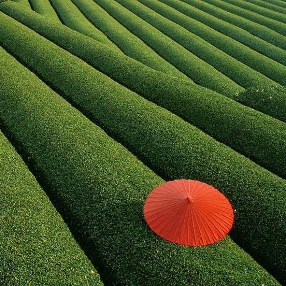 tea-fields-china