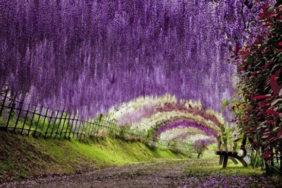 wisteria-tunnel-japan