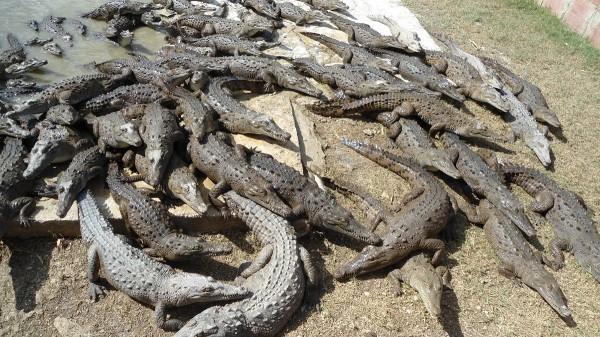 крокодилы-куба
