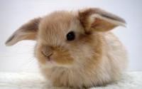 Породы домашних кроликов