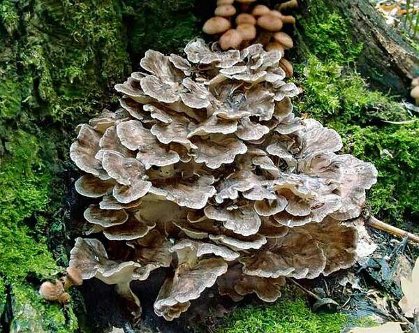 грибы Майтаке в борьбе с раком