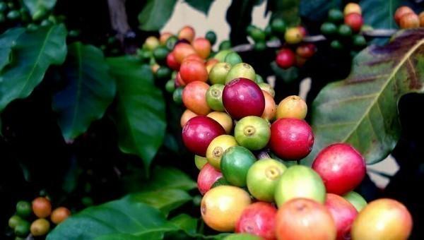 кофе растущее на Ямайке