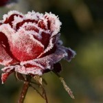 Какие цветы лучше дарить зимой?