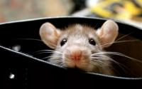 Как избавиться от крыс надолго?