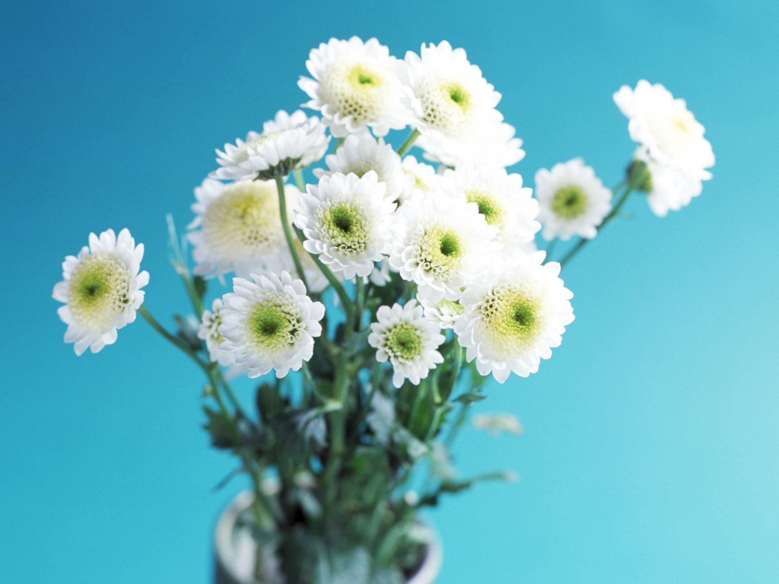 хризантема цветы  № 1353137 бесплатно