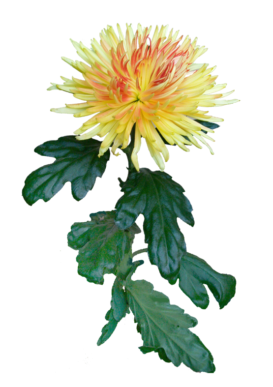 Картинки хризантем для детей